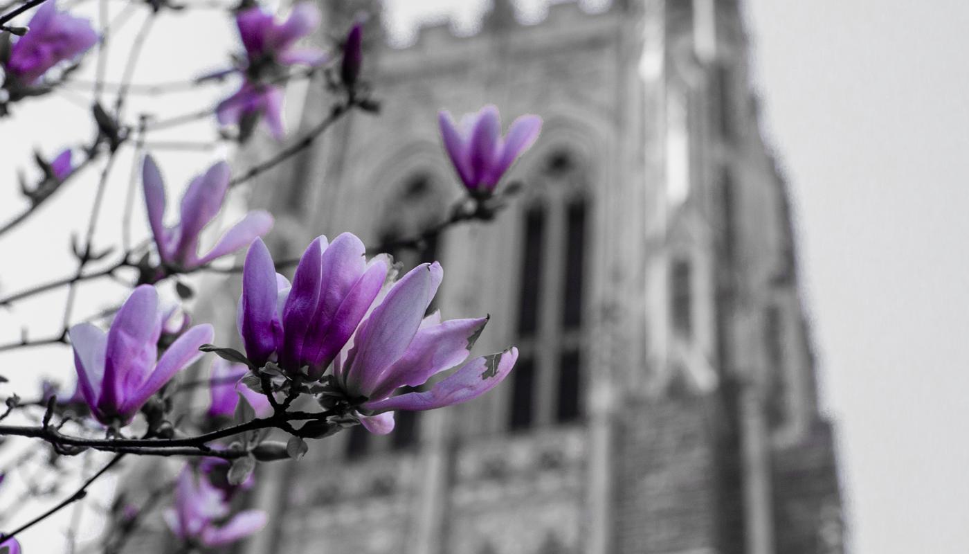 purple flower in front of Duke Chapel